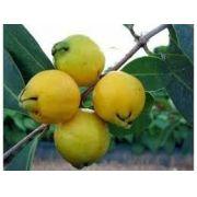 Sementes De Araça Amarelo 30 unid Anão Psidium Cattleyanum Fruta