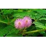 Sementes De Mimosa Pudica Dormideira Dorme-dorme Sensitiva