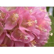 Sementes De Astrapéia Rosa Dombeya Wallichii Rara Dombeia