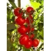 Sementes De Tomate Cereja Vermelho Cerejinha Trepador 100 sementes