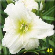 Mudas de Lirios Brancos Hemerocallis Lírios de São Jose Bulbos Belli 40