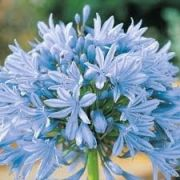 Mudas De Agapantos Azul Celeste Agapantus Bulbos de Lírio do Nilo
