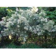 Sementes De Assa Peixe Apicola Medicinal Vernonia Polyanthes