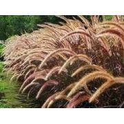 20 Sementes De Capim Do Texas Pennisetum Setaceum Chorão