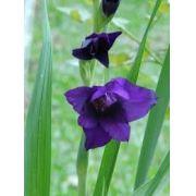 Bulbos De 04 Gladíolos Purpura Palma Sta Rita - Veja O Frete