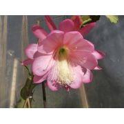 Mudas De Dama Da Noite Rosa Epiphyllum Gigante Flirtation Cactos Orquídea