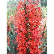 Bulbos De Lirio Do Brejo Vermelho Hedychium Borboleta Lírio