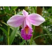 Mudas De Orquídea Bambu Lilás Arundina Graminifolia Orquídea da terra