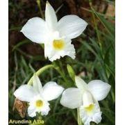 Mudas De Orquídea Bambu Branca Arundina Graminifolia Orquídea Da Terra