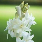 Bulbos De Angélica  Jacinto da India Polianthes Tuberosa Vara De São José Haste Dourada  Mudas de Angelica De Bastão