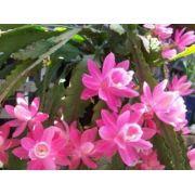 Mudas De Epiphyllum Miss Muffet Rosa Cactos Orquidea Muffet Dama da Noite