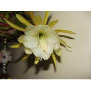 Kit De 06 Mudas De Cacto Orquídea 06 Cores Mercado Envio