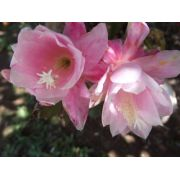07 mudas de Epiphyllum de 7 Cores diferentes Dama Noite Orquídea Belli Plantas