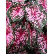 Bulbos De Caládio Caladium Rosa Pink 42 Caládio Tinhorao Belli Plantas