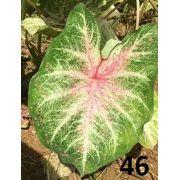 Bulbos De Caladium Verde Matiz Vermelho 46 Genova Belli Plantas