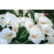 Bulbos De Copo De Leite Branco e Coloridos Zantedeschia Aethiopica Mudas