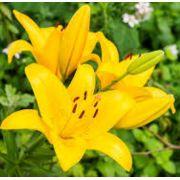 Mudas De Lirio Asiático Amarelo Lilium Hybrido
