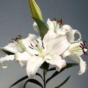 Mudas De Lirio Asiático Branco Lilium Hybrido