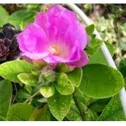 Mudas De Ora Pro Nobis Rosa Pereskia Grandifolia Ora Pro Nobis ornamental flor ROSA