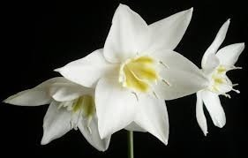 Bulbos De Lírio Do Amazonas Lirio Estrela Dalva Eucharis grandiflora Estrela de Belém e Estrela da Anunciação  - BELLI PLANTAS