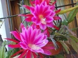 Mudas De Dama Da Noite Fucsia Epiphyllum Gigante Pegasus Cactos Orquídea  - BELLI PLANTAS