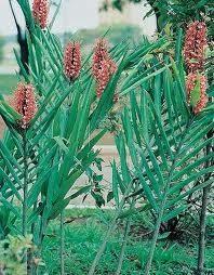 Bulbos De Lirio Do Brejo Vermelho Hedychium Borboleta Lírio  - BELLI PLANTAS