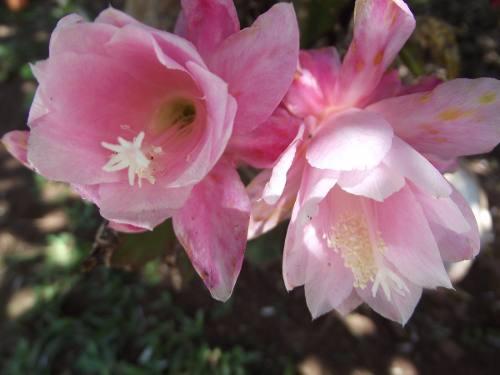 07 mudas de Epiphyllum de 7 Cores diferentes Dama Noite Orquídea Belli Plantas  - BELLI PLANTAS