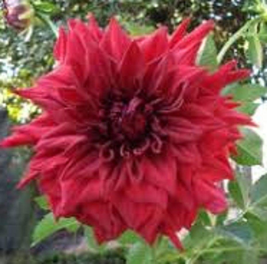 Bulbos De Dálias Vermelha tipo Anêmona Dahlia Pinnata Variabilis  - BELLI PLANTAS