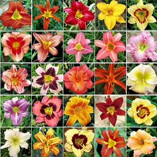 Mudas De Lirios Do Dia 40 cores Líros de São Jose Bulbos Bulbos e Mudas de Hemerocallis  - BELLI PLANTAS