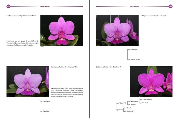 Cattleya walkeriana   - Orquídeas Terra