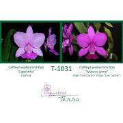 Cattleya walkeriana tipo Capelinha X Cattleya walkeriana tipo Mateus Leme