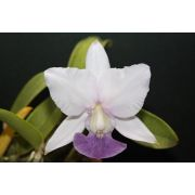 Cattleya walkeriana coerulea (395 #01)