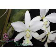 Cattleya nobilior alba Santa Cruz