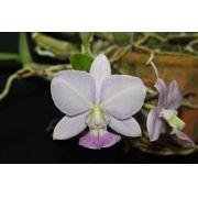 Cattleya walkeriana coerulea Adélia Bordini