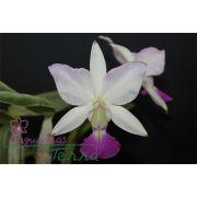 Cattleya walkeriana suave Primogênita TE