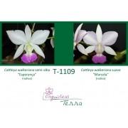 Cattleya walkeriana semi-alba Esperança X Cattleya walkeriana suave Marcela