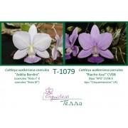 """Cattleya walkeriana coerulea """"Adélia Bordini"""" X Cattleya walkeriana coerulea """"Riacho Azul"""" CVSN"""