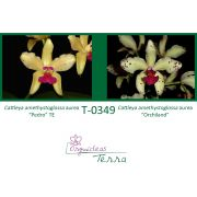 Cattleya amethystoglossa aurea Pedro X Cattleya amethystoglossa aurea Orchiland