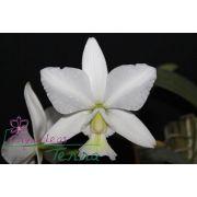 Cattleya nobilior albescens Schneewitchen