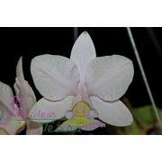 Cattleya nobilior coerulea Kriptonita