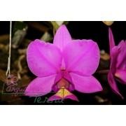 Cattleya nobilior tipo Anápolis