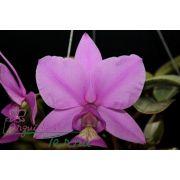 Cattleya nobilior tipo Déjà vu TE