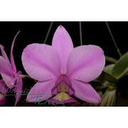 Cattleya nobilior tipo Edgar Cotrin TE