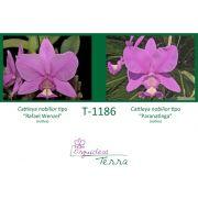 Cattleya nobilior tipo Rafael Wenzel X Cattleya nobilior tipo Paranatinga