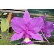 Cattleya nobilior tipo Raí Manzan TE