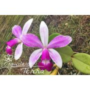 Cattleya violacea semi-alba flâmea