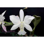 Cattleya walkeriana alba Borralheira TE