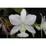 Cattleya walkeriana alba Rosângela