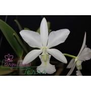 Cattleya walkeriana alba Sano
