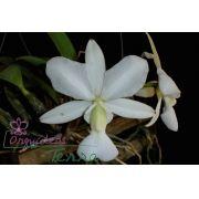 Cattleya walkeriana albescens Santa Luzia